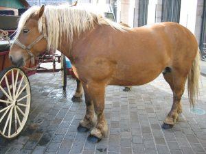 comtois paard